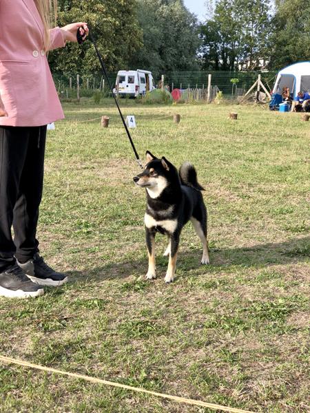Ninkyou-go-chuken-kiku-kensha-shiba-inu-male-kuroshiba-dogshow-regionale-elevage-cfcnsj-nananishiki
