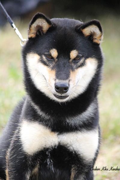 Ninkyou-go-chuken-kiku-kensha-shiba-inu-male-kuroshiba-dogshow-regionale-elevage-cfcnsj