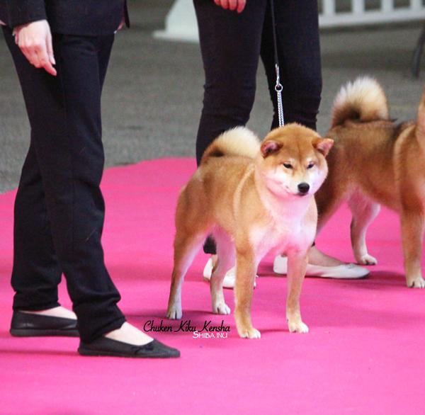 Nobuko-red-shiba-inu-female-femelle-rousse-fauve-elevage-CKK-juge-japonais-Kawakita-cotation-4-chuken-kiku-kensha