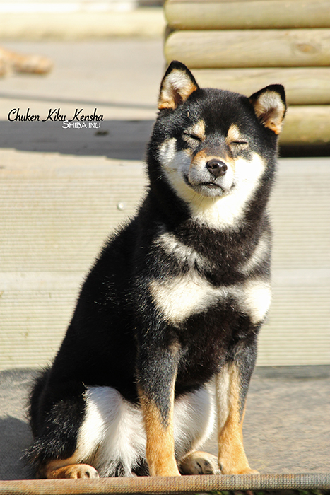 OGI-shiba-inu-chien-japonais-CKK