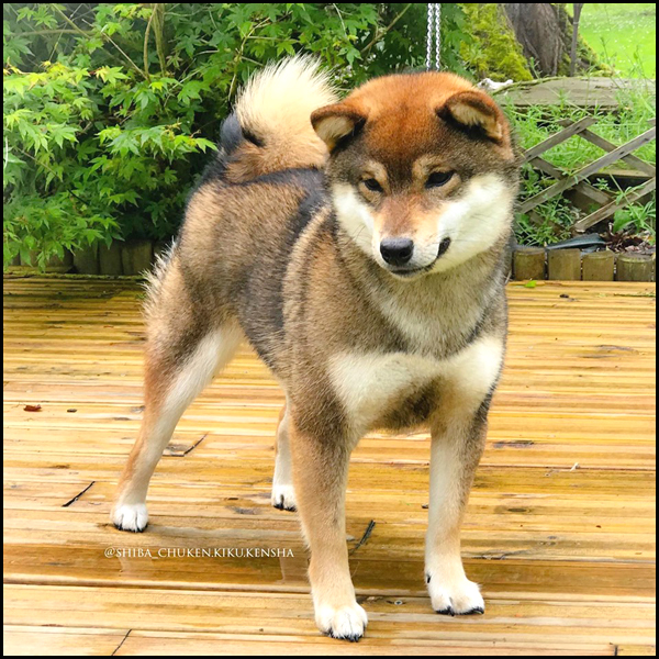 OKI-Ohatsugiku-no-Nishiki-Sakura-Go-CKK-Chuken-Kiku-Kensha-Shiba-inu-elevage-femelle-nippo-registered-nananishiki-bloodline-sesame-goma-prevision-portee-saillie-chiot-female