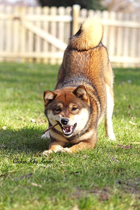 OKI-shiba-inu-goma-sesame-CKK-chien-japonais