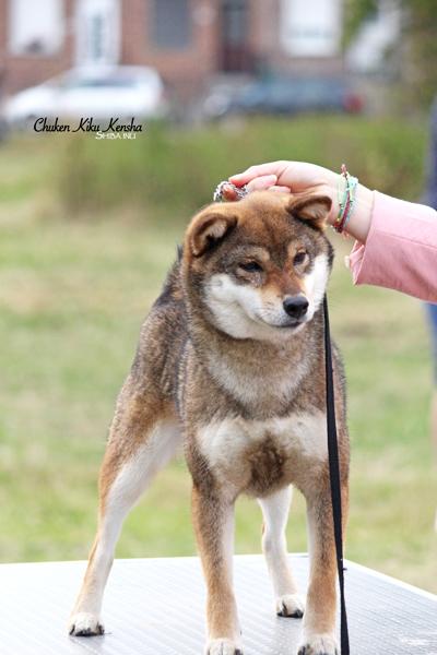 Ohatsugiku-no-nishiki-sakura-go-chuken-kiku-kensha-goma-shiba-inu-sesame-female-femelle-OKI-CKK-regionale-elevage-dogshow-BOB-BIS-stud