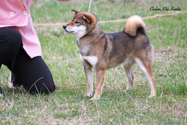 Ohatsugiku-no-nishiki-sakura-go-chuken-kiku-kensha-goma-shiba-inu-sesame-female-femelle-OKI-CKK-regionale-elevage-dogshow-BOB-BIS