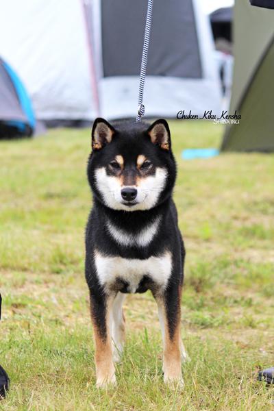 Oji-san-Go-Chuken-Kiku-Kensha-shiba-inu-male-black-tan-noir-feu-kuroshiba-fils-Musashi-JyuJyu-LOF-confirmation-expo-canine-stud