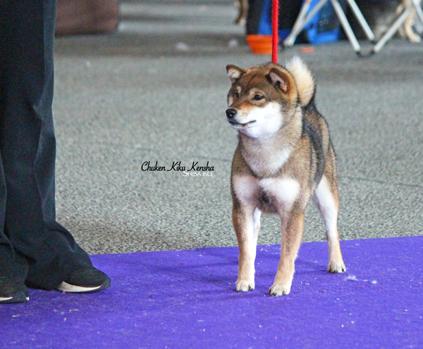 Oki-sesame-shiba-inu-goma-elevage-CKK-nationale-show-speciale-de-race-best-of-breed-juge-japonais-japanese-judge-Kawakita-BOB-Young-Meilleur-Jeune-nananishiki