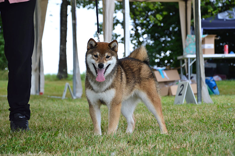 RAN-Rangiku-Umeko-Go-Chuken-Kiku-Kensha-shiba-inu-chiot-femelle-sesame-goma-female-meilleur-puppy-BIS-expo-canine-regionale-elevage-bretagne-lalleu-CKK-2021
