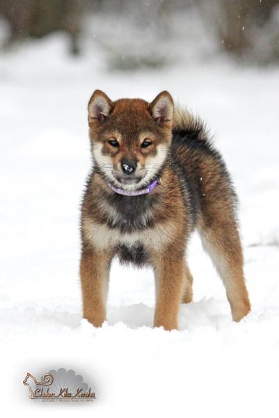 RAN-goma-shiba-inu-sesame-chien-japonais-japanese-dog-shikoku-gris-loup-CKK-wolf