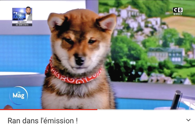 Ran-shiba-inu-CKK-elevage-Chuken-kiku-kensha-C8-emission-TV-show-puppy-chiot-goma-sesame-female-femelle-vos-animaux-Sandrine