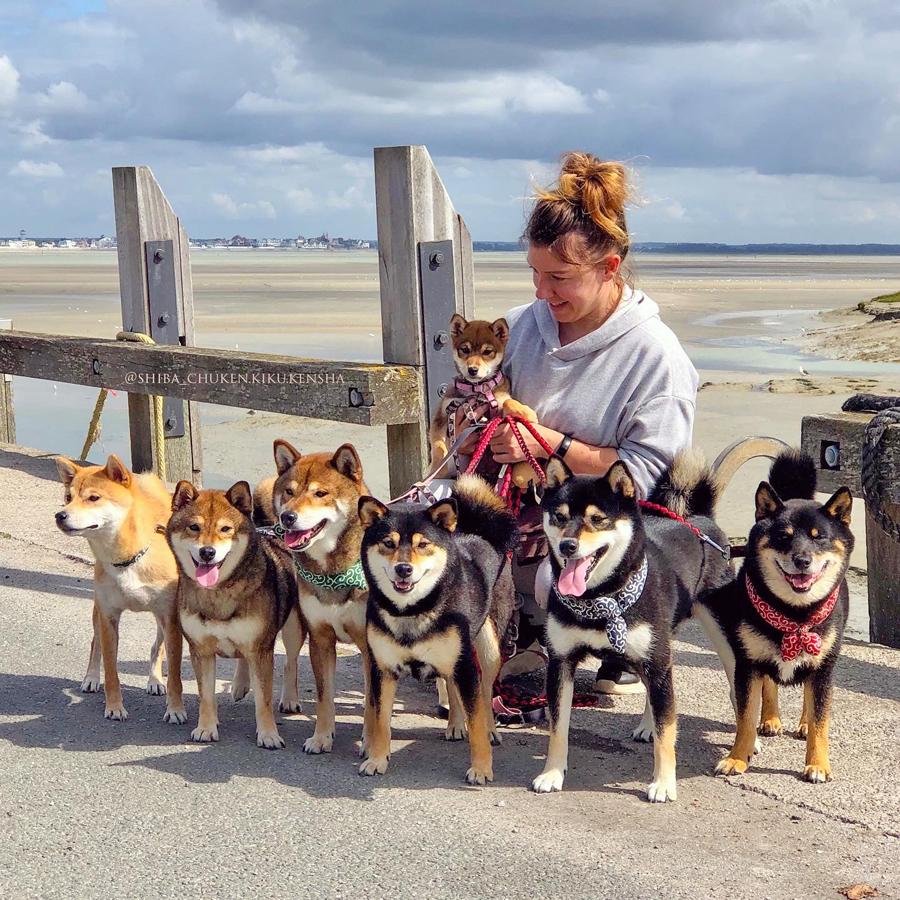 Randonnee-shiba-inu-walk-Somme-hourdel-Chuken-kiku-kensha-elevage-CKK-chien-japonais-shibalife