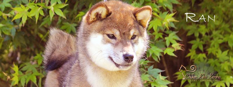 Rangiku-Umeko-Go-Chuken-Kiku-Kensha-dite-RAN-goma-shiba-inu-sesame-femelle-female-nippo-selection-elevage-CKK-awat-bloodline-nananishiki-chien-japonais