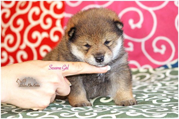 sesame-shiba-inu-goma-puppy-chiot-CKK-elevage