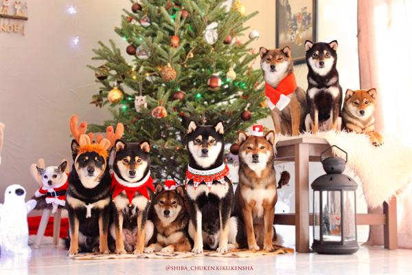 Shiba-christmas-chuken-kiku-kensha-elevage-CKK-pack-meute-noel-sesame-goma-black-kuroshiba-nippo-stud-japanese-dog-chien-japonais-cute-kawaii-shibe