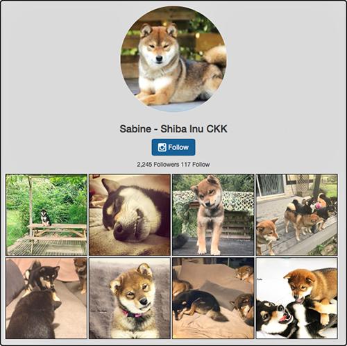 shiba-chuken-kiku-kensha-instagram-elevage-CKK-sabine-doge-petit-chien-japonais