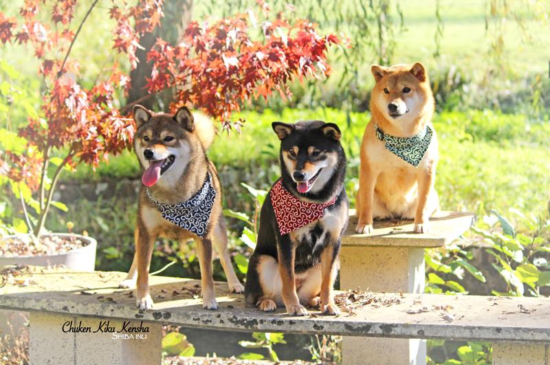 shiba-inu-female-femelle-girls-collier-karakusa-bandana-elevage-CKK-chien-japonais