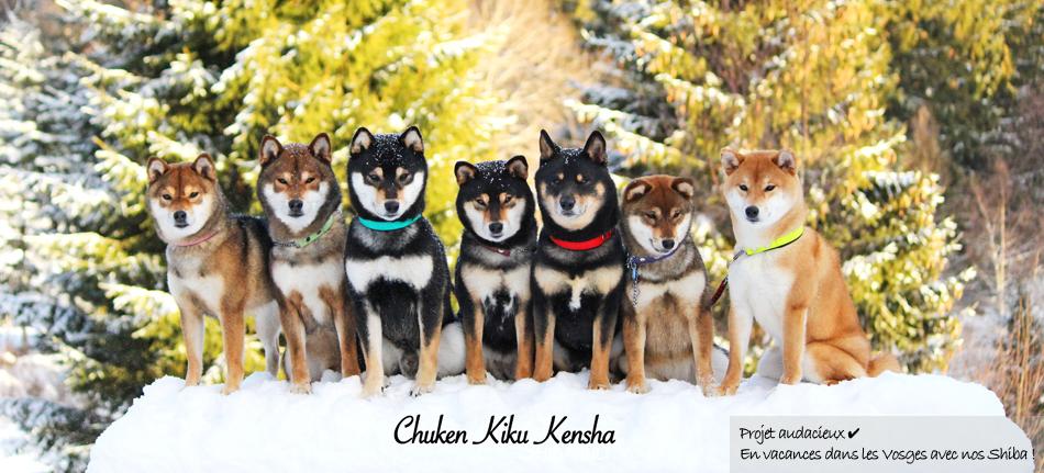 Shiba-inu-elevage-chuken-kiku-kensha-CKK-vacances-sejour-vosges-chien-japonais-montagne-snow-neige