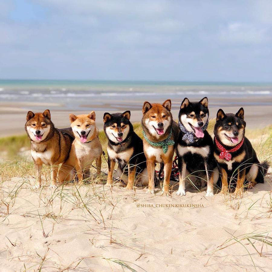 Shiba-inu-CKK-chuken-kiku-kensha-elevage-plage-fort-mahon-walk-japanese-dog-chien-japonais