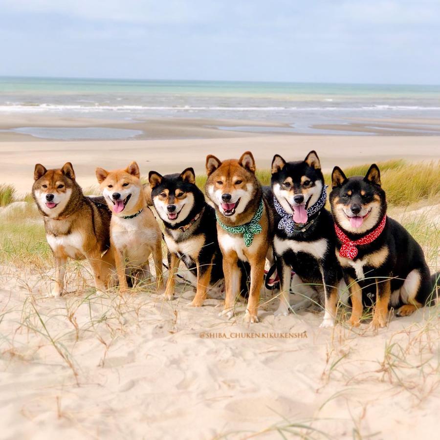 Shiba-inu-CKK-chuken-kiku-kensha-elevage-plage-fort-mahon-walk-japanese-dog-shibalove-pack-cute-kawaii