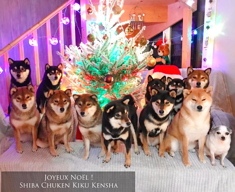 Shiba-inu-Chuken-Kiku-Kensha-elevage-CKK-Joyeux-Noel-Merry-Christmas-chien-japonais-meute-pack-japanese-dog-shibalove-shibalovers-insta-IG-shibamania-cute-kawaii-kuroshiba-sesame-redshiba