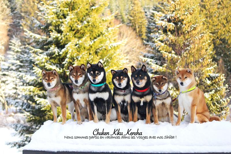 shiba-inu-elevage-CKK-vacances-sejour-vosges-montagne-neige-snow-chien-japonais