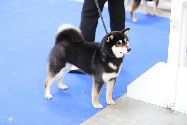Shiba-inu-Hime-Chuken-Kiku-Kensha-elevage-CKK-dog-show-female-femelle-noir-feu-black-tan-japan-import