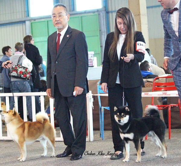 Shiba-inu-Nanaki-japan-import-japon-male-black-tan-noir-kuroshiba-fils-nananishiki-son-nationale-show-speciale-de-race-best-of-breed-juge-japonais-japanese-judge-Kawakita-elevage-Chuken-kiku-kensha