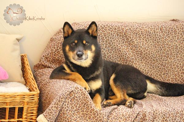 shiba-inu-chien-japonais-Goro