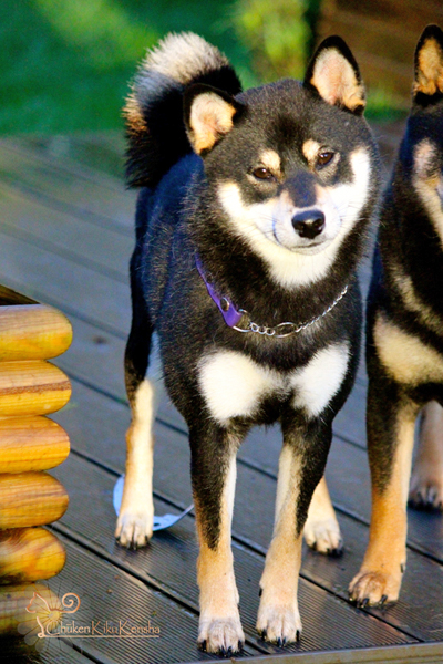 shiba-inu-chien-japonais-Jyujyu