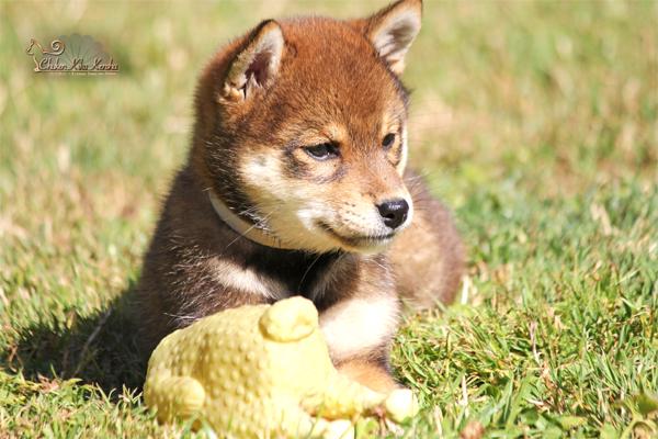 Shiba-inu-chien-japonais-KOUME