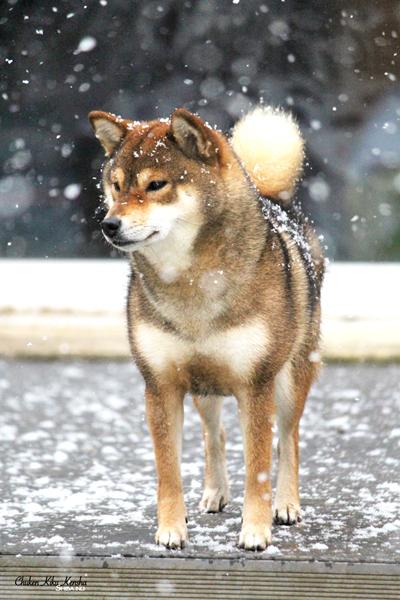 shiba-inu-chien-japonais-Kiko