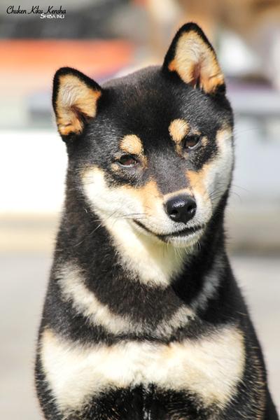 shiba-inu-chien-japonais-Nanaki