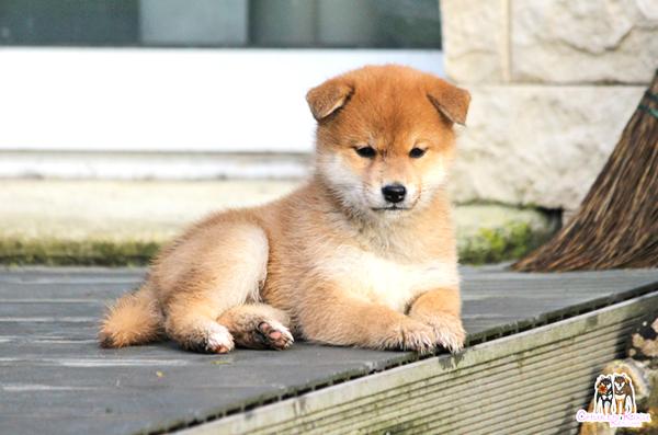 shiba-inu-chien-japonais-Nobuko