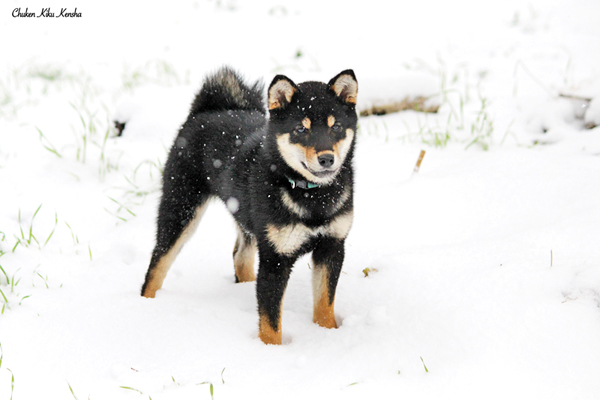 shiba-inu-chien-japonais-Ogi