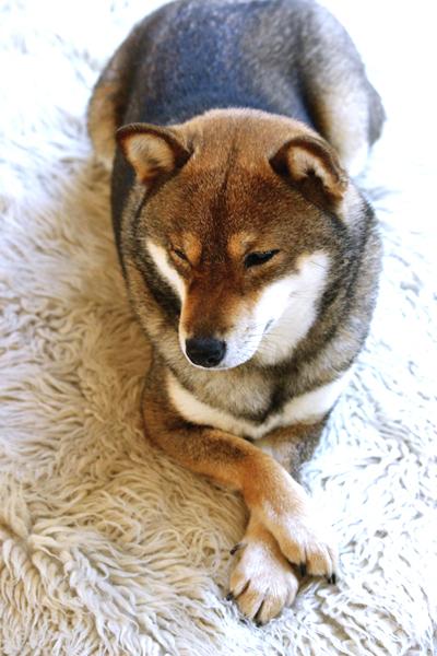 shiba-inu-chien-japonais-Ume