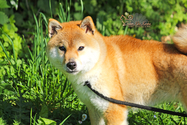femelle-rousse-red-shiba-inu-Yume