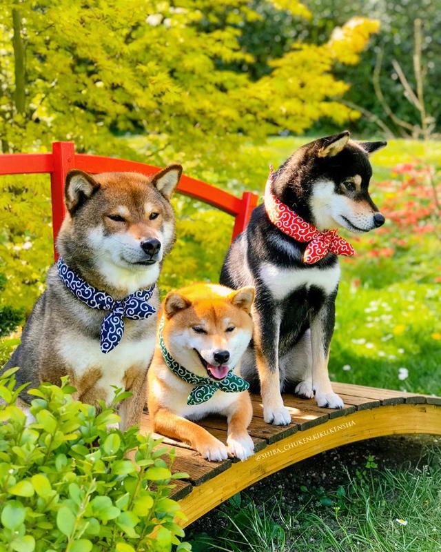 Shiba-inu-chuken-kiku-kensha-elevage-CKK-foulard-karakusa-bandana-motif-japonais-MMShib-boutique-shibadog-shibalovers-kuroshiba-akashiba-gomashiba-roux-noir-sesame