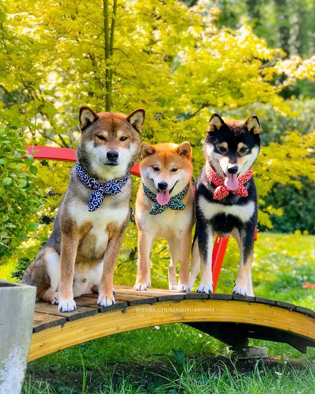 Shiba-inu-chuken-kiku-kensha-elevage-CKK-foulard-karakusa-bandana-motif-japonais-MMShib-boutique-shibalife-shibaken-kuroshiba-akashiba-gomashiba-roux-noir-sesame