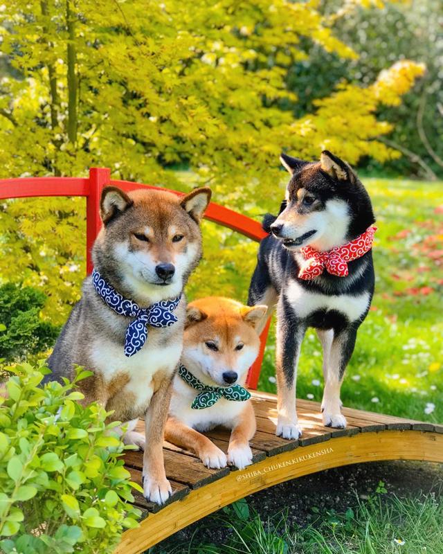 Shiba-inu-chuken-kiku-kensha-elevage-CKK-foulard-karakusa-bandana-motif-japonais-MMShib-boutique-shibalove-shibastyle-kuroshiba-akashiba-gomashiba-roux-noir-sesame