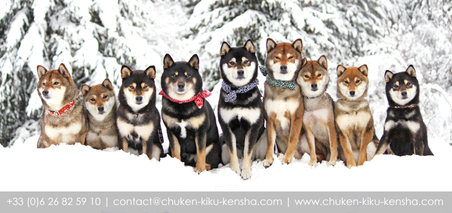 Shiba-inu-elevage-CKK-Chuken-Kiku-Kensha-contact-kennel-france-chien-japonais-sesame-goma-japan-dog-info-nippo-chiot-puppy-Normandie-shibe