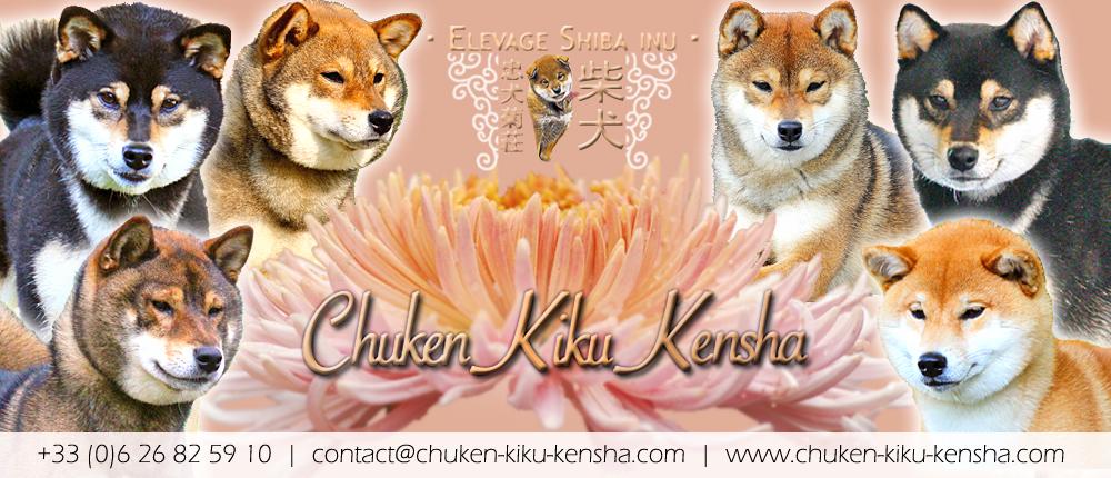 elevage-shiba-inu-CKK-chiot-puppy-nippo-chien-japonais
