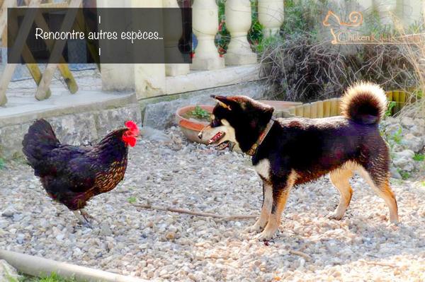 Shiba-inu-entente-autre-animaux-intra-espece-demenagement-furet-nac-poule-chat-lapin-race-japonaise-primitive-quotidien-vacances-CKK-education