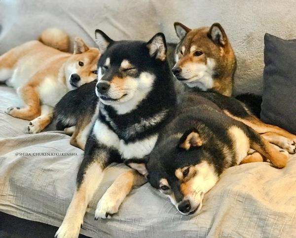 Shiba-inu-entente-congenere-calin-independant-fidele-chien-japonais-male-femelle-communication-canine-CKK-elevage