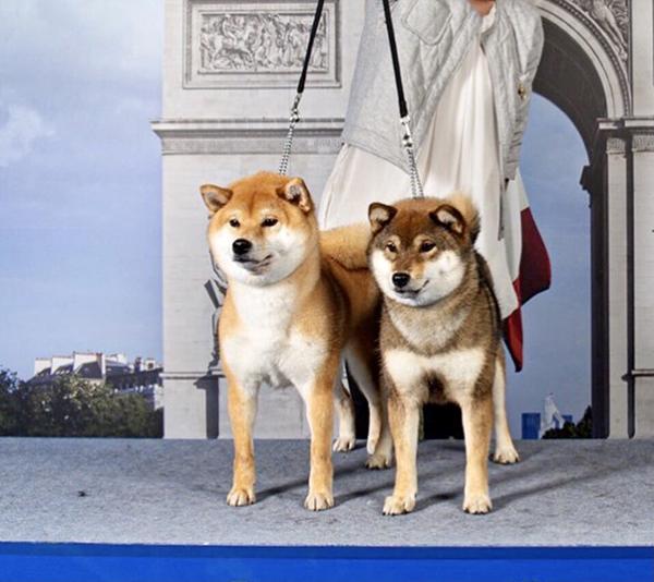 Shiba-inu-exposition-canine-dog-show-jugement-groupe-5-allure-statique-handling-confirmation-CFCNSJ-trophee-champion-titre-concours-beaute-CACS-CACIB-BOS-BOB-BIS-SCIF-FCI-LOF-TAN-championne-cedia-SCC-race-elevage-CKK