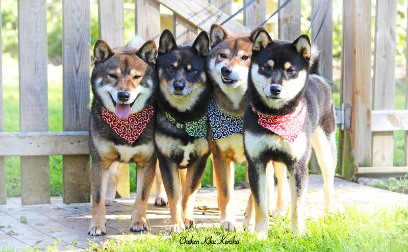 shiba-inu-male-boys-karakusa-collier-bandana-elevage-CKK-chien-japonais