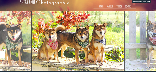 Shiba-inu-shooting-photo-collier-bandana-karakusa-Shibattitude-elevage-CKK-japanese-dog