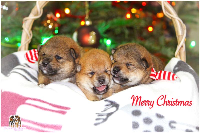 puppies-shiba-inu-chiots-elevage-CKK-nippo