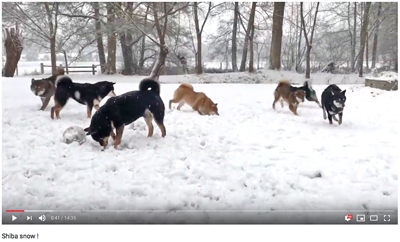 snow-neige-shiba-inu-elevage-CKK-meute-chien-japonais-japan-dog