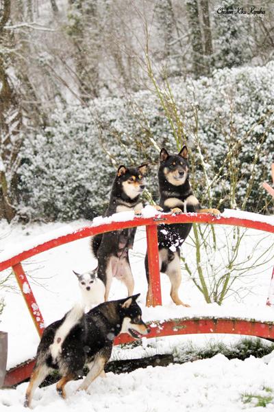 chien-japonais-shiba-inu-elevage-CKK