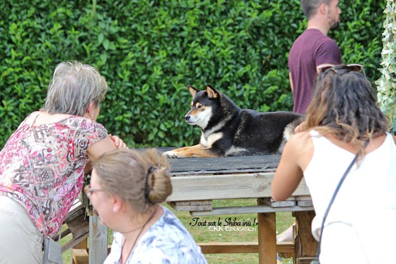Tout-sur-le-Shiba-inu-seminaire-conference-cours-collectif-atelier-canin-education-canine-CKK