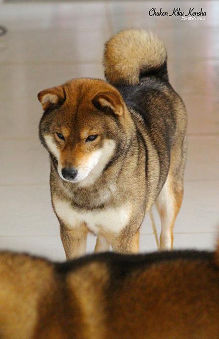UME-shiba-inu-sesame-goma-chien-japonais-CKK